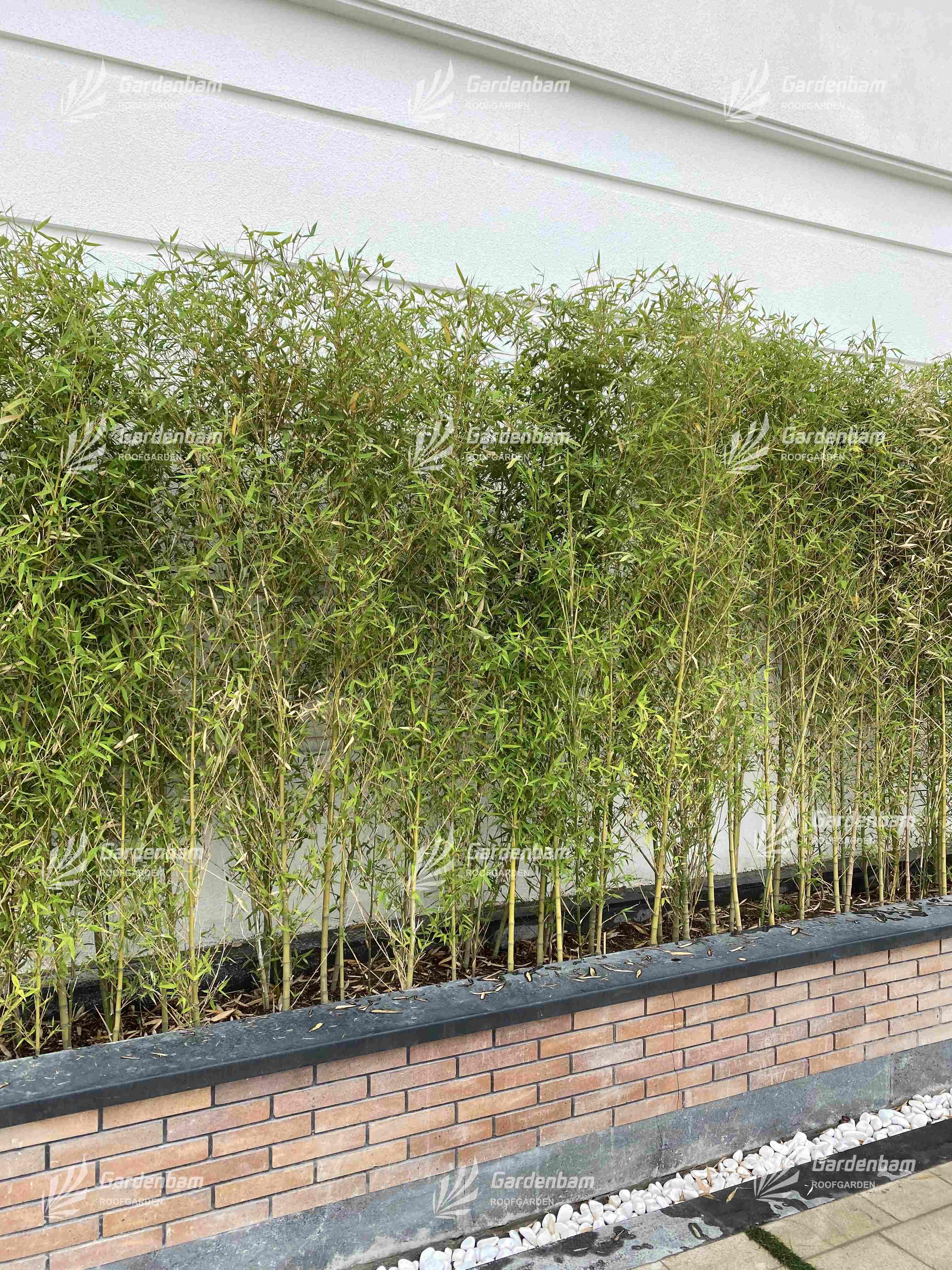 نی خیزران   گیاه روف گاردن  پروژه بام سبز شرکت گاردن بام-سعادت اباد