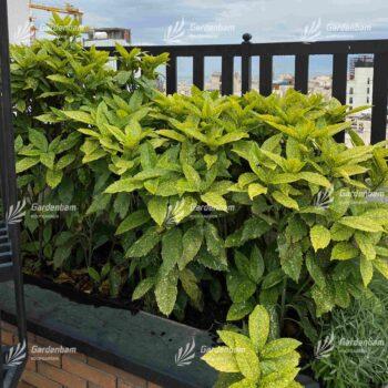 آکوبا | گیاه روف گاردن | گیاه | گیاه مناسب روف گاردن | معرفی گیاه روف گاردن | گیاه بام سبز | روف گاردن | بام سبز | گیاه | درختچه | آکوبا | روفگاردن |