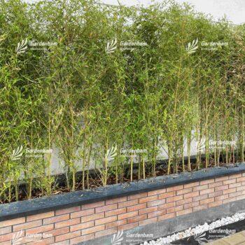 گیاه روف گاردن | گیاه مناسب روف گاردن | معرفی گیاه روف گاردن | گیاه بام سبز | روف گاردن | بام سبز | گیاه | درختچه | بامبو | نی خیزران |