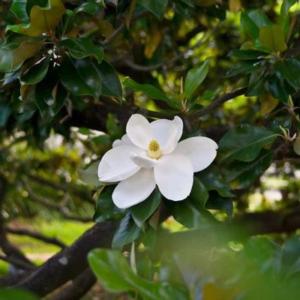 ماگنولیا | بامبو | نی خیزران | پوشش گیاهی روف گاردن | ماگنولیا همیشه سبز | گیاه روف گاردن | گیاه |گیاه مناسب روف گاردن | معرفی گیاه روف گاردن | گیاه بام سبز | روف گاردن | بام سبز | گیاه | درختچه | کامیس پاریس | روفگاردن |