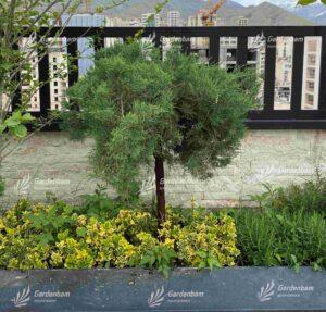 جونی پروس پیوندی | ژونی پروس پیوندی | ارس | سرو خزنده | درختچه | پوشش گیاهی | روف گاردن | فضای سبز | بام سبز | گاردن بام