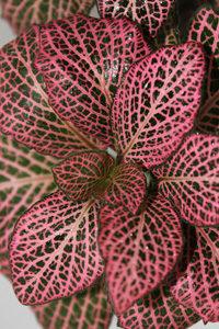 فیتونیا | پوشش گیاهی روف گاردن | ماگنولیا همیشه سبز | گیاه روف گاردن | گیاه |گیاه مناسب روف گاردن | معرفی گیاه روف گاردن | گیاه بام سبز | روف گاردن | بام سبز | گیاه | درختچه | روفگاردن |