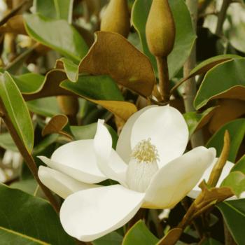 ماگنولیا | پوشش گیاهی روف گاردن | ماگنولیا همیشه سبز | گیاه روف گاردن | گیاه |گیاه مناسب روف گاردن | معرفی گیاه روف گاردن | گیاه بام سبز | روف گاردن | بام سبز | گیاه | درختچه | کامیس پاریس | روفگاردن |