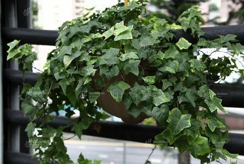 گیاهان مناسب برای ساخت دیوارسبز و روف گاردن  گیاه مخصوص دیوار سبز و محوطه سازی   طراحی و اجرای تخصصی روف گاردن و لنداسکیپ  پروژه دیوارسبز  مهندس پیمان جمشیدی گاردن بام گرین وال